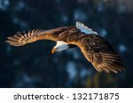 American Bald Eagle Diving In...