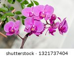 pink orchid branch phal flowers ... | Shutterstock . vector #1321737404