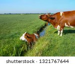 Cow In Ditch  Trapped  Wailing...
