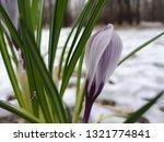 crocus in snow. close up ...   Shutterstock . vector #1321774841