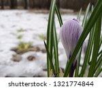 crocus in snow. close up ...   Shutterstock . vector #1321774844