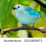 blue gray tanager thraupis... | Shutterstock . vector #1321850471