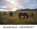 Icelandic Horse In The Field O...