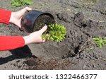 Gardener Hands Planting Picea...