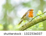 European Robin Perching On Tre...