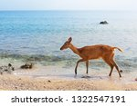 young fawn of javan rusa on... | Shutterstock . vector #1322547191