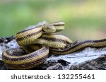 Yellow Rat Snake  Elaphe...