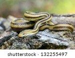 Yellow Rat Snake  Elaphe...