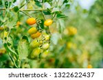 fresh ripe red tomatoes and the ... | Shutterstock . vector #1322622437