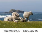 Sheep Lying On The Meadow With...
