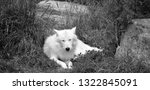 arctic wolf or polar white wolf ... | Shutterstock . vector #1322845091