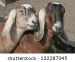Two Female Goats
