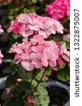 pelargonium   hortorum or... | Shutterstock . vector #1322875007