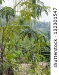 fruit of horse radish or...   Shutterstock . vector #132301547