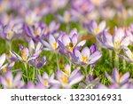bees pollinate crocuses. close...   Shutterstock . vector #1323016931