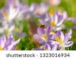 bees pollinate crocuses. close...   Shutterstock . vector #1323016934