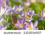 bees pollinate crocuses. close...   Shutterstock . vector #1323016937