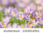 bees pollinate crocuses. close...   Shutterstock . vector #1323016961