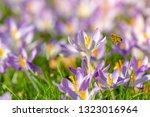 bees pollinate crocuses. close...   Shutterstock . vector #1323016964