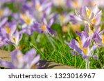 bees pollinate crocuses. close...   Shutterstock . vector #1323016967