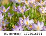bees pollinate crocuses. close...   Shutterstock . vector #1323016991