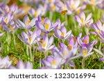 bees pollinate crocuses. close...   Shutterstock . vector #1323016994