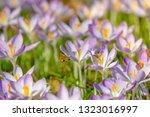 bees pollinate crocuses. close...   Shutterstock . vector #1323016997