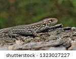 small lizard on the bark of an... | Shutterstock . vector #1323027227