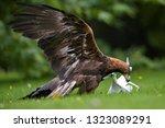 bird at work. golden eagle ... | Shutterstock . vector #1323089291