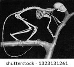 Skeleton Of A Maki With...