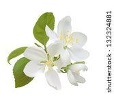 White Apple Flowers Isolated O...