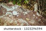 pregnant lizard  animal... | Shutterstock . vector #1323296594