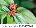 euphorbia hirta  garden spurge  ... | Shutterstock . vector #1323497141
