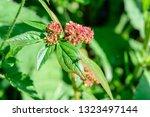 euphorbia hirta  garden spurge  ... | Shutterstock . vector #1323497144