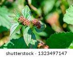 euphorbia hirta  garden spurge  ... | Shutterstock . vector #1323497147