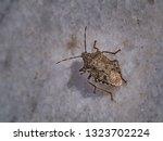 shield bug macro on the white... | Shutterstock . vector #1323702224