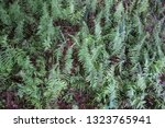 Small photo of Ostrich Ferns. Overhead view of a species of fiddle head ferns known as ostrich ferns. This species of ferns is considered a delicacy and harvested in the spring when the fern resembles a fiddle head.