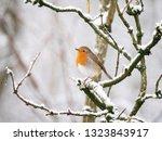 A European Robin  Erithacus...