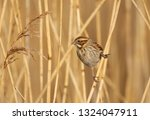 a female reed bunting  emberiza ... | Shutterstock . vector #1324047911