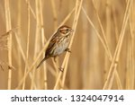 a female reed bunting  emberiza ... | Shutterstock . vector #1324047914
