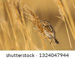 a female reed bunting  emberiza ... | Shutterstock . vector #1324047944