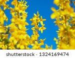 forsythia flowers in sunny day. ... | Shutterstock . vector #1324169474