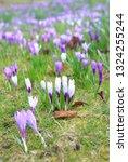 spring crocus  crocus vernus ...   Shutterstock . vector #1324255244