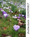 spring crocus  crocus vernus ...   Shutterstock . vector #1324255817