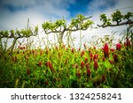 Crimson Clover In Wine Country