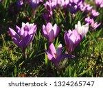 pink crocus tommasinianus  a...   Shutterstock . vector #1324265747