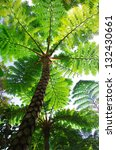 Small photo of Flying spider monkey tree fern in Okinawa, Japan