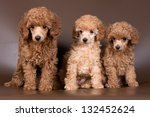 Stock photo three puppies of apricot poodle 132452624