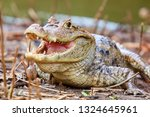 the spectacled caiman  caiman... | Shutterstock . vector #1324645961