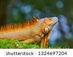 The Green Iguana  Also Known As ...
